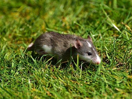 Rat, Baby Rats, Rush, Cute, Young Animal, Nager, Sweet