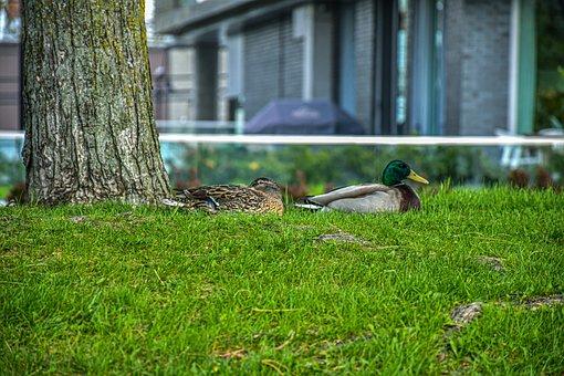 Ducks, Mallards, Meadow, Birds, Waterfowls, Water Birds