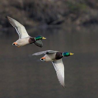 Mallard, Ducks, Flight, Water Birds, Flying, Birds