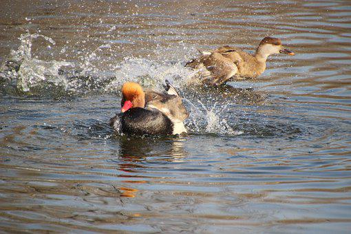 Ducks, Pochard, Mallard, Birds, Wading, Wading Bird