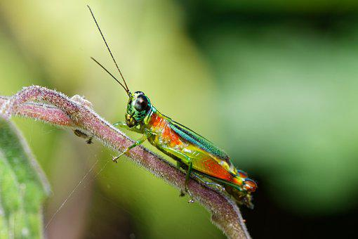 Grasshopper, Insect, Plant, Cricket, Animal, Nature