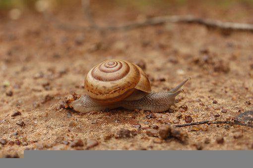 Snail, Shell, Mollusk, Crawl, Slug, Animal, Nature