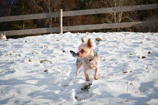 Yorkshire Terrier, Dog, Snow, Winter, Small Dog