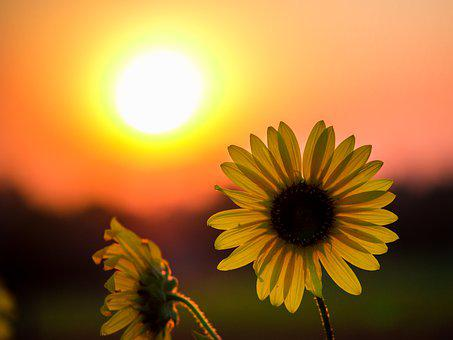 Sunrise' Sunflower, Sunset, Greeley, Colorado