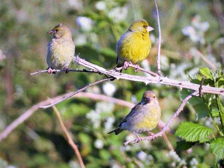 Greenfinch, Birds, European Greenfinch, Animal World