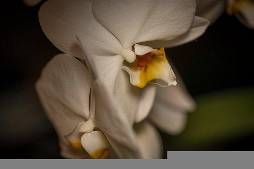 Orchids, Flowers, Blossom, White, White Orchids