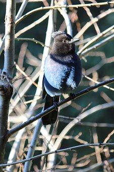 Steller's, Jay, Blue, Bird, Nature, Perched, Wildlife