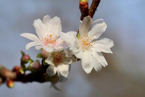Winter Cherry, Flowering Twig, Winter Blooming Cherry
