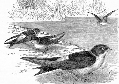 Sand Martins, Birds, Engraving, House Martins, Animals