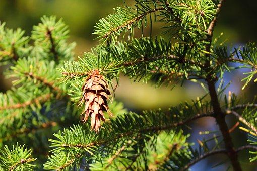 Douglas Pine, Douglas Spruce, Conifer, Fruit