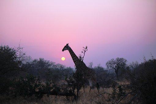 Sunset, Giraffe, Ossicone, Long Neck, Artiodactyl