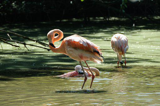 Flamingos, Birds, Water, Long-legged, Long-necked