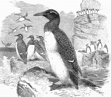 Ringed Guillemots, Cliffs, Engraving, Seabirds