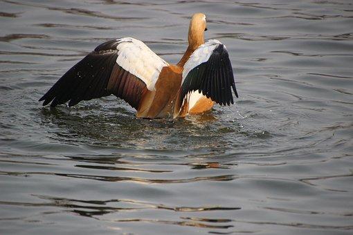 Duck, Ruddy Shelduck, Bird, Wings, Wading, Wading Bird