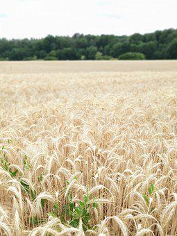 Field, Cereals, Agriculture, Wheat, Harvest, Nature