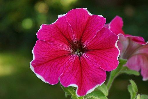 Surfinia, Ornamental Plant, Cup, Campanula Flower
