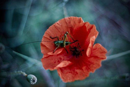 Grasshopper, Poppy, Flower, Red Poppy, Petals