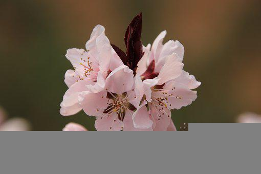 Peach Blossom, Flowers, Plant, Pink Flowers, Bloom