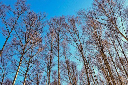 Birch, Trees, Bare, Bare Trees, Birch Trees, Branches