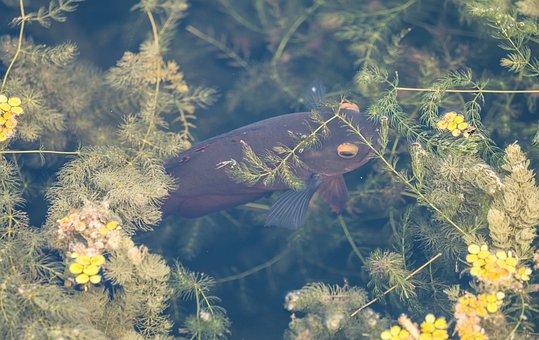 Fish, Koi, Pond, Seaweed, Aquatic Plants, Aquatic