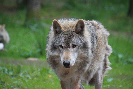 Wolf, Gray Wolf, Carnivore, Canine, Predator, Mammal