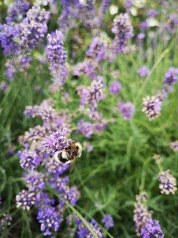 Lavender, Insect, Violet