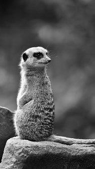 Meerkat, Animal, Zoo, Suricate, Mammal, Wildlife, Wild
