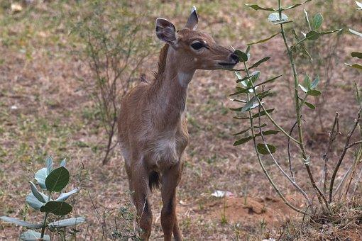 Nilgai, Ruminant, Baby Nilgai, Calf, Mammal, Grass