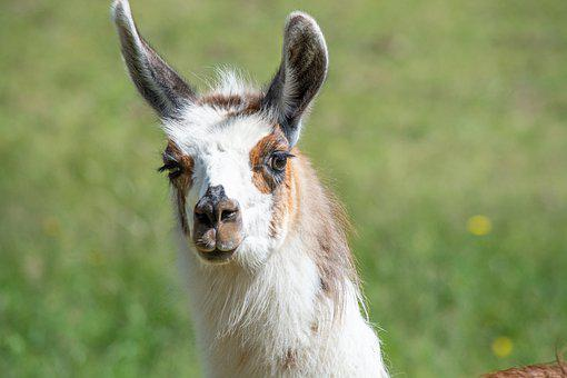 Lama, Alpaca, Head, Meadow, Pasture, Brown, Spotted