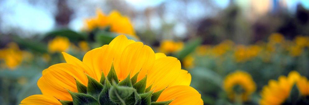 Background, Banner, Sunflower, Flower, Petals