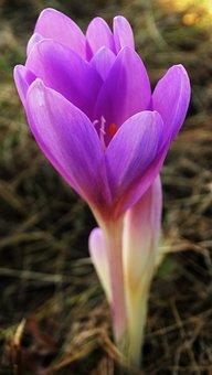 Autumn Crocus, Crocus, Flowers, Purple Flowers, Petals