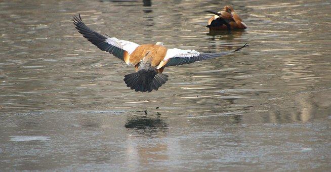 Ruddy Shelducks, Flying, Ducks, Birds, Flying Bird