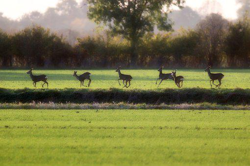 Deer, Ruminants, Field, Pasture, Grass, Group, Wild