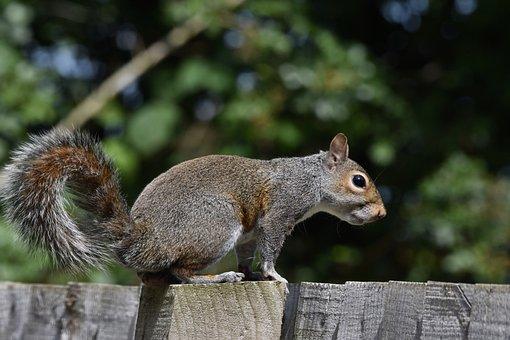 Squirrel, Chipmunk, Rodent, Fence, Grey Squirrel
