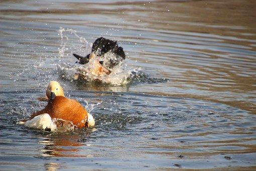 Ruddy Shelduck, Birds, Ducks, Waterfowls, Water Birds