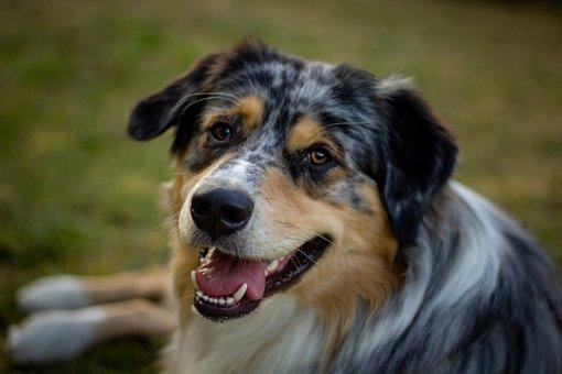 Australian Shepherd, Dog, Pet, Animal, Domestic Dog