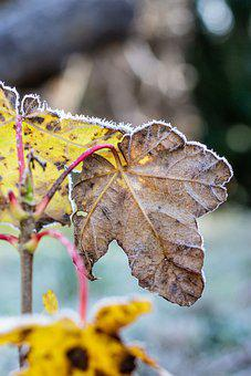 Leaves, Plant, Frost, Morning, Hoarfrost, Cold, Frozen