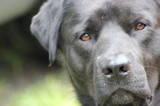 Dog, Black, Pet, Labrador, Rottweiler, Ears