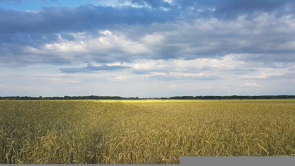 Wheat, Field, Agriculture, Wheat Crops, Crops, Food