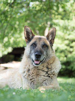 Dog, Pet, Animal, Senior, Old, Cross Bred, Friend, Aged