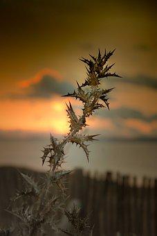 Flower, Plant, Grass, Thorny, Prickly, Sunset, Flora