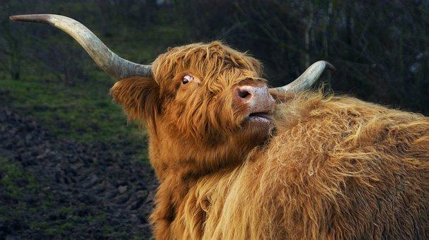 Highland Cow, Cow, Animal, Portrait, Highland Cattle
