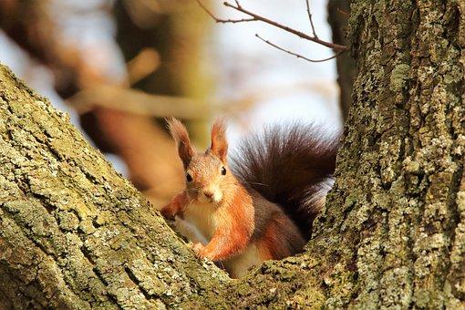 Squirrel, Tree, Rodent, Wildlife, Forest, Wilderness