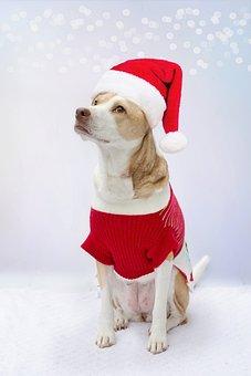 Dog, Costume, Santa, Santa Costume, Santa Hat, Portrait