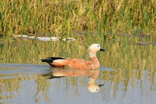 Ruddy Shelduck, Bird, Waterfowl, Water Bird, Lake