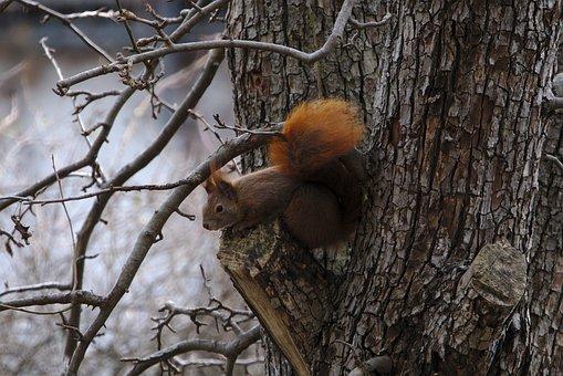 Squirrel, Eurasian Squirrel, Rodent, Wildlife, Forest