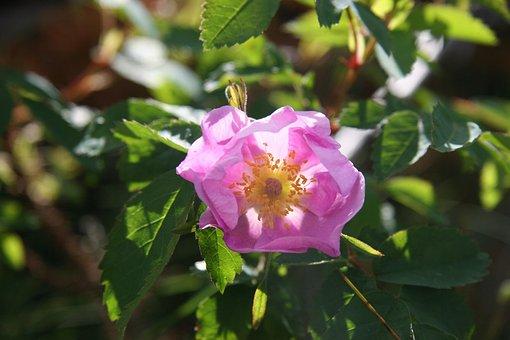 Wildrose, Albertarose, Rose