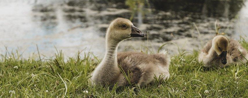 Ducks, Birds, Grass, Panorama, Anatidae, Beak, Pair