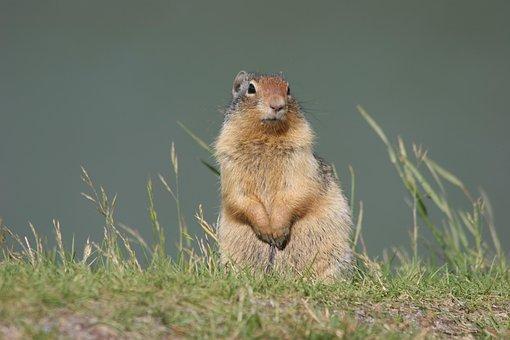 Ground Squirrel, Animal, Wildlife, Prairie Dog