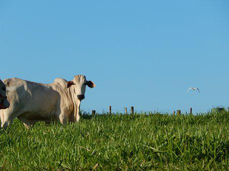 Cow, Animal, Nature, Farm